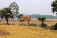 Rolnik niesie ryż od uprawia ziemię do domu Obrazy Stock