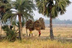 Rolnik niesie ryż od uprawia ziemię do domu Zdjęcia Royalty Free