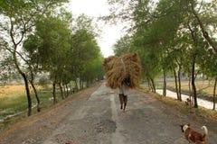 Rolnik niesie ryż od uprawia ziemię do domu Zdjęcia Stock