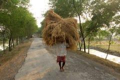 Rolnik niesie ryż od uprawia ziemię do domu Zdjęcie Stock