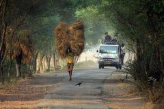Rolnik niesie ryż od uprawia ziemię do domu Fotografia Stock