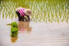 Rolnik niesie ryżowych saplings mościć pola fotografia stock