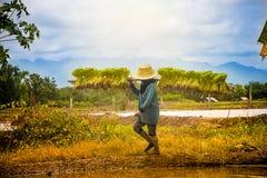 Rolnik niesie ryżowych saplings mościć pola obraz royalty free