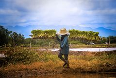 Rolnik niesie ryżowych saplings mościć pola Rolnik niesie saplings ryż ruch mościć pola zdjęcie stock