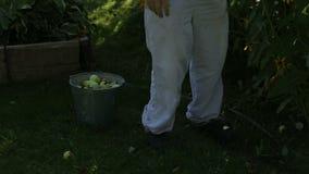 Rolnik ocenia czerwonego jabłka w jego ogródzie zbiory