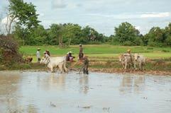Rolnik orze jego pole z krowami w Siem przeprowadza żniwa obraz stock