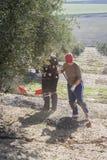 Rolnik podczas kampanii oliwka w polu drzewa oliwne Obrazy Royalty Free