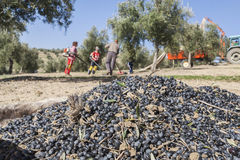 Rolnik podczas kampanii oliwka w polu drzewa oliwne, f Zdjęcia Royalty Free