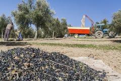 Rolnik podczas kampanii oliwka w polu drzewa oliwne, f Fotografia Stock