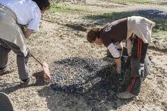 Rolnik podczas kampanii oliwka w polu drzewa oliwne, f Fotografia Royalty Free