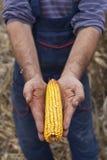 Rolnik pokazuje dojrzałego kukurydzanego kukurydza ucho Fotografia Stock