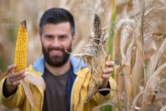 Rolnik pokazuje kukurydzanych cobs fotografia royalty free
