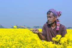 Rolnik pracuje w pełnym kwitnącym musztardy polu przy Sirajdhikha, Munshigonj, Dhaka, Bangladesz fotografia stock