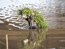 Rolnik przy Chiang Raja fotografia stock