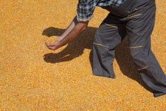 Rolnik przy kukurydzaną stertą po żniwa obraz stock