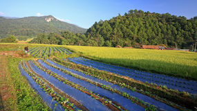 Rolnik przy warzywem i ryż uprawiamy ziemię w Chiang Mai Fotografia Royalty Free
