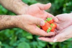 Rolnik ręki i kobiet ręki trzyma garść dojrzałe truskawki, rolny pole w tle fotografia stock