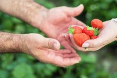 Rolnik ręki i kobiet ręki trzyma garść dojrzałe truskawki, rolny pole w tle zdjęcia stock