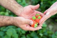 Rolnik ręki i kobiet ręki trzyma garść dojrzałe truskawki, rolny pole w tle obraz stock