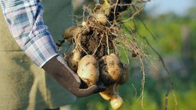 Rolnik ręki w rękawiczkach trzymają świeżo kopali w górę kartoflanych bulw obrazy royalty free