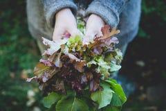 Rolnik ręki z świeżo zbierającą sałatą fotografia stock