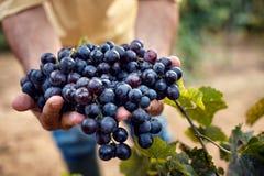 Rolnik ręki z błękitnymi winogronami zdjęcie stock