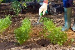 Rolnik ręki grabienia ziemia blisko pietruszki Obrazy Royalty Free