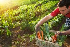 Rolnik sortuje warzywa w koszu zdjęcia royalty free