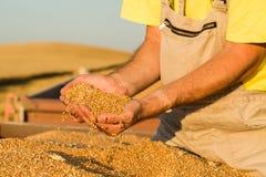 Rolnik sprawdza świeżo zbierać banatek adra zdjęcie stock