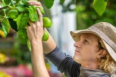 Rolnik Sprawdza cytryny obraz stock