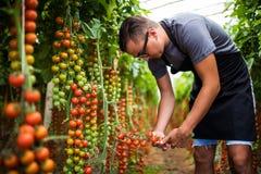 Rolnik sprawdza czerwonego czereśniowych pomidorów żniwo dla kolekci w szklarni Obrazy Stock