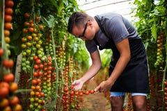 Rolnik sprawdza czerwonego czereśniowych pomidorów żniwo dla kolekci w szklarni Fotografia Stock