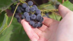 Rolnik sprawdza dojrzałych winogrona w sezonie jesiennym zbiory