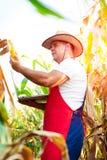 Rolnik sprawdza ilość kukurydzane uprawy Zdjęcia Stock