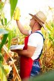 Rolnik sprawdza ilość kukurydzane uprawy Obrazy Stock