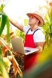 Rolnik sprawdza ilość kukurydzane uprawy Zdjęcia Royalty Free