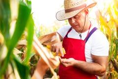 Rolnik sprawdza ilość kukurydzane uprawy Obraz Stock