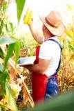 Rolnik sprawdza ilość kukurydzane uprawy Zdjęcie Stock