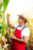 Rolnik sprawdza ilość kukurydzane uprawy Fotografia Royalty Free