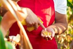 Rolnik sprawdza ilość kukurydzane uprawy Fotografia Stock