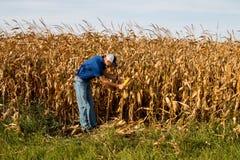 Rolnik Sprawdza Kukurydzanego pole Zdjęcie Stock