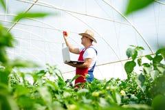 Rolnik sprawdza pieprz rośliny w szklarni Zdjęcie Royalty Free