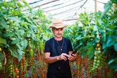 Rolnik sprawdza pomidorowe rośliny przez pastylki online w szklarni Obraz Stock