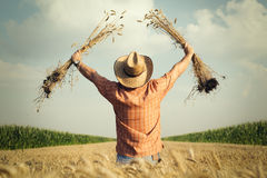 Rolnik sprawdza pszeniczną adrę w polu fotografia stock