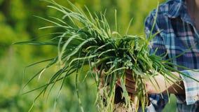 Rolnik trzyma fistful zielone cebule ?wiezi warzywa ?wiezi od pola zbiory wideo