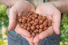 Rolnik trzyma hazelnuts w rękach fotografia stock