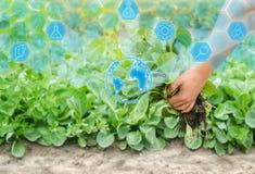 Rolnik trzyma kapuściany sadzonkowego przygotowywa dla zasadzać w polu uprawiać ziemię, rolnictwo, warzywa, agroindustry Innovati obraz royalty free