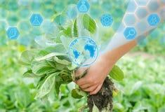Rolnik trzyma kapuściany sadzonkowego przygotowywa dla zasadzać w polu uprawiać ziemię, rolnictwo, warzywa, agroindustry Innovati obrazy stock