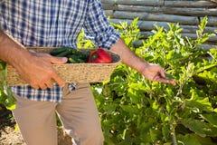 Rolnik trzyma kosz świezi warzywa w winnicy Obraz Stock