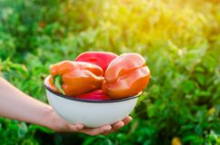 Rolnik trzyma pieprzowy w jego rękach zebrać Rolnictwo, uprawia ziemię pole Sezonowa praca słoneczny dzień zdrowi warzywa a obrazy royalty free